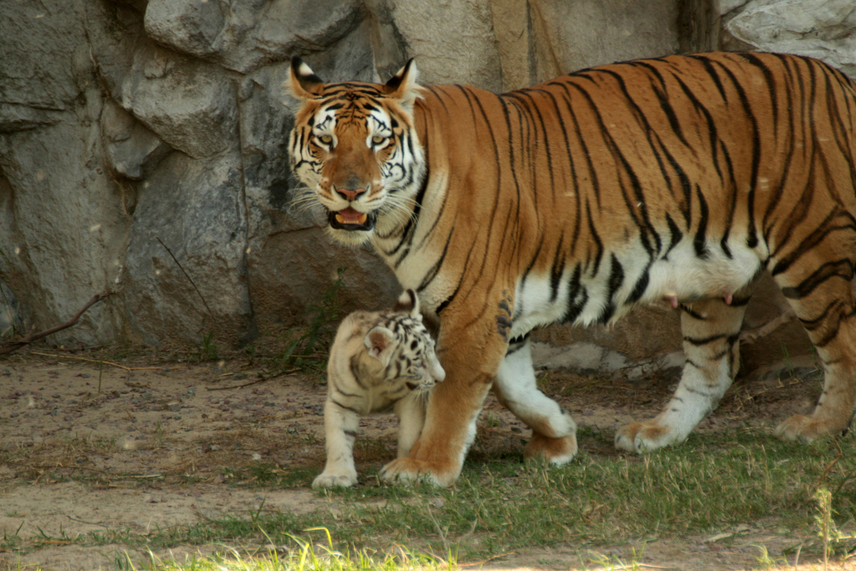 tigres_malika_cachorros_01